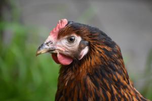 La poule Maya (Grand-Lancy)