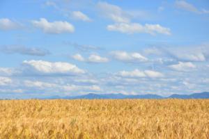 Le champ de blé (Kematen)
