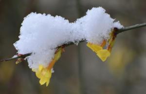 Le jasmin d'hiver (Onex)