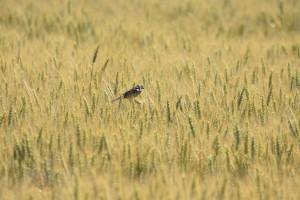 Les-blés-(Bardonnex)