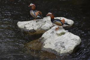 Les canards mandarins (Aire)