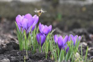 Première abeille (Autriche)