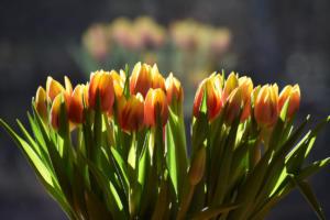 les tulipes en reflet